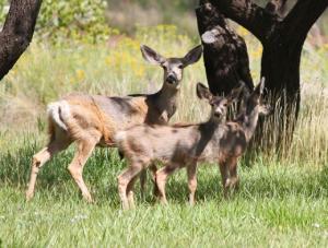 IMG 0577-Deer-A72